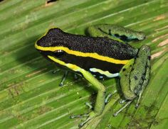 Three-striped Poison Dart Frog (Ameerega trivitatta)