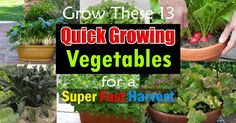 If you are new to gardening or get little impatient when growing vegetables-- Must see this list of Fast Growing Vegetables. All vegetables in this list can be grown in containers and harvested in 2 months or quicker. Growing Peas, Growing Spinach, Growing Lettuce, Fast Growing Vegetables, Asian Vegetables, Home Grown Vegetables, Container Gardening Vegetables, Vegetables Garden, Garden Container