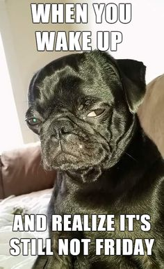 Funny, angry pug dog wants it to be Friday.