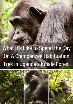 What It's Like to Spend the Day On A Chimpanzee Habituation Trek in Uganda's Kibale Forest | Sidewalk Safari