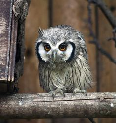 evocativesynthesis: White-Faced Scops Owl Fledgling (by Stephen Bridson)