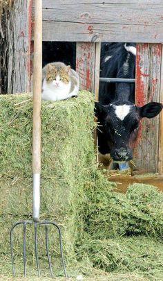 Cows appreciate friends.