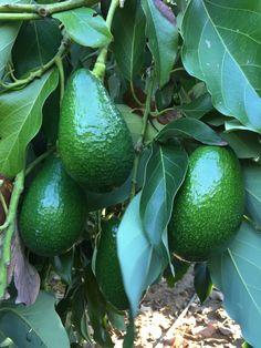 Ettinger - Halk arasındaki adı Parlak : ) Lime, Fruit, Limes, Key Lime