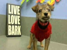 #A443331 (Moreno Valley, CA) female, sable Terrier mix. The shelter thinks I am about 9 weeks old. I have been at the shelter since Dec 03, 2014 and I may be available for adoption on Dec 10, 2014 at 11:11AM. https://www.facebook.com/135559229932205/photos/a.382565775231548.1073741961.135559229932205/396150373873088/?type=3&theater