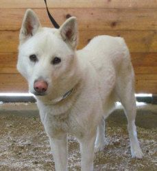 Everest is an adoptable White German Shepherd Dog in Newport Beach, CA. Everest is a shy boy who is somewhat confused right about the change in his circumstances. He is very thin right now and we are ...