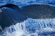 Humpback whale raising its fluke (tail) prior to a dive. Maui, Hawaii, USA, Megaptera novaeangliae, natural history stock photograph, photo id 04212