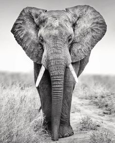 One of this week's picks from our Insta Favourite of the Year Image by The entry with the most likes will For… Elephant Face, Elephant Wall Art, African Elephant, African Animals, Elephant Photography, Wild Photography, Animal Photography, Elephants Photos, Elephant Pictures
