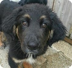 Chicago, IL - German Shepherd Dog/Bernese Mountain Dog Mix. Meet Jasper a Puppy for Adoption.