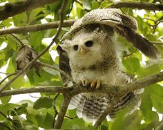 Morning Stretch: Barred Eagle Owl is also known as Malay Eagle Owl. This juvenile just awaken from his sleep.