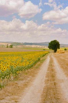 Sunflowers by the road (Val d'Orcia, Siena, Tuscany, Italy) by Tec Pataja