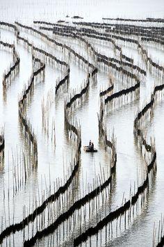 Sundried Kelp farm - Xiapu, Fujian, China Secado al sol de algas Xiapu, Fujian, China