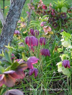 Checkered lily (Fritillaria meleagris) with hybrid Lenten roses (Helleborus x hybridus); Nancy J. Ondra at Hayefield Flower Garden, Spring Plants, Flowers Perennials, Plant Tags, Plants, Bulbous Plants, Lenten Rose, Plant Combinations, Beautiful Flowers