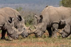 a clash of White Rhino greeting Nobby, Wildlife, Elephant, Nature, Photography, Animales, Naturaleza, Photograph, Fotografie