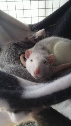 Pet rats lying in their hammock