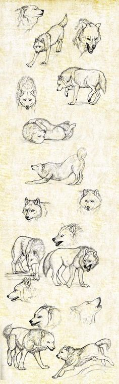 Denver's wolf sketches (one of them has to be a husky, though, because you never see a wolf's tail curl up like that)