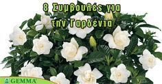 8 tips for a beautiful gardenia – Embroidery Desing Ideas Apron Pattern Free, Indoor Plants, Home And Garden, Bloom, Gardening, Green, Tips, Nature, Flowers