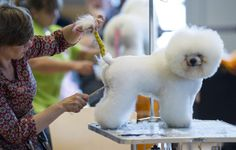 3rd National and International Dog Grooming Championships, ERFURT, GERMANY - JUNE 14: Janet Schoen from Germany prepares a Bichon Frise prior to judging in the 3rd National and International Dog Grooming Championships on June 14, 2014 in Erfurt, Germany. The event has drawn 32 competitors, with 52 dogs, from 5 countries and is taking place as part of the annual Erfurt dog breeders' show. (Photo by Jens Schlueter/Getty Images