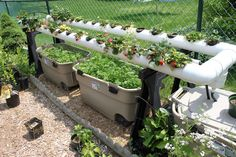 Simpson Eco Farms: Strawberry hydroponics update ☺ + ⪻ greenhouse update ⪼ + ⪢ how we grow carrots ⪡. ☑☑☑☑