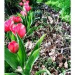 Tulips Perk Back Up