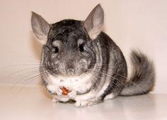 Cute Chinchilla 🐭Funny and Cute Chinchilla(Full) [Funny Pets] Spirit Animal Totem, Animal Spirit Guides, Animal Totems, Animals And Pets, Funny Animals, Cute Animals, Funny Pets, Chinchilla Care, Animal Facts