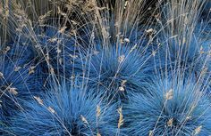 Gravel garden plants: Festuca glauca 'Elijah Blue'