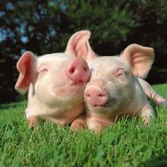 """""""We aren't mini micro , teacup nor potbellied pigs."""" the truth is , supposedly """"tiny"""" pigs do NOT exist ! Zoo Animals, Animals And Pets, Cute Animals, National Pig Day, Cute Baby Pigs, Pot Belly Pigs, Teacup Pigs, Mini Pigs, Pet Pigs"""