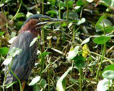 Green Heron subadult