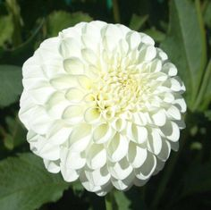 """- Item This 4 SNOWBALL - Item This white """"ball"""" is a lush specimen that would be elegant note in an arrangement. Swan IslandSNOWBALL - Item This white """"ball"""" is a lush specimen that would be elegant note in an arrangement. Eucalyptus Plant For Sale, Unique Flowers, Beautiful Flowers, Deer Fern, Growing Dahlias, White Dahlias, White Flowers, Summer Plants, Dahlia Flower"""