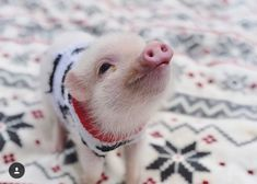 Is this Babe, from the movie? Looks just like'em! #happy #pig #piglover