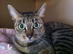 Domestic Short Hair/Tabby - Grey Mix: An adoptable cat in Seattle, WA learn more @ http://www.petfinder.com/petdetail/22007429