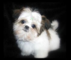 Cute Puppy  OMG!!! WHAT'S YOUR BREED?? I WANT UUUUUUUUU...SOOOO CUTEEEE!!!!