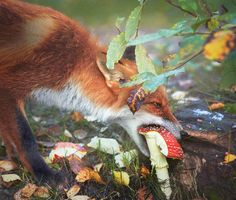 "Selkie Meg ""Red Fox And Magpie In Autumn"" by Niko Pekonen"