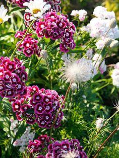 Harjaneilikka on aurinkoisen istutuksen perinnekasvi. Se kukkii runsaasti sydänkesällä.