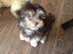 My name is Coco. I am a chocolate Havanese and I love squeaky balls!