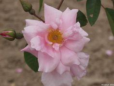 Auguste Roussel - Macrophylla