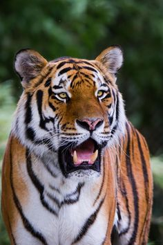 Bengal Cats - Cat's Nine Lives Beautiful Cats, Animals Beautiful, White Bengal Tiger, Bengal Cats, Pet Tiger, Tiger Cubs, Bear Cubs, Tiger World, Tiger Artwork