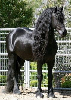 friesien horse alexander the great | Friesian Horses for Sale from Black Sterling Friesians