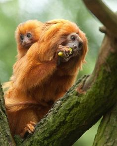 Did you know? The golden lion tamarins in our Upland Tropical Rain Forest exhibit are part of a conservation program working to re-introduce these endangered animals back into their native habitats!