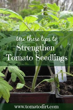 Strengthen a growing tomato plant to prepare it for the home garden - Strengthen tomato seedlings with Tomato Dirt - Growing Tomato Plants, Tomato Seedlings, Growing Tomatoes In Containers, Tomato Seeds, Growing Vegetables, Grow Tomatoes, Succulent Gardening, Gardening Tips, Vegetable Gardening