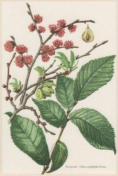 1960 Vintage Botanical Print Ulmus carpinifolia by Craftissimo