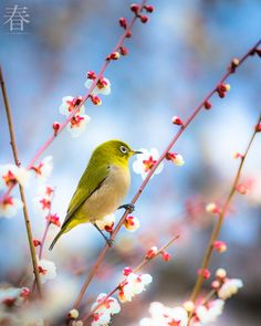 Photograph Spring bird in japan by Jirat Srisabye on 500px