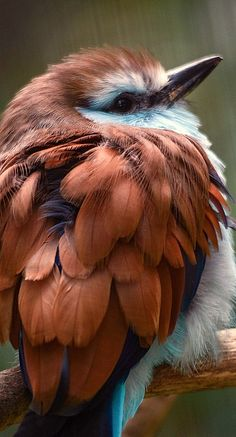 Racket-tailed Roller at the San Diego Zoo, California~ zϮ ~