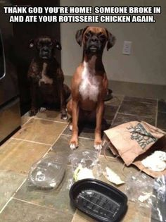 Love the look on their faces. Guilty!  #dogs #funny