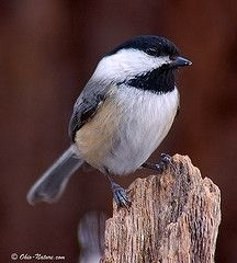 Probably our most regular bird visitor, the Chickadees enjoy sunflower seeds from our feeder every day
