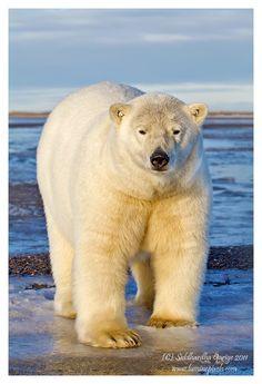 Polar bear portrait  //http://www.pinterest.com/friedahoppen/animals-polarbear-ijsbeer/