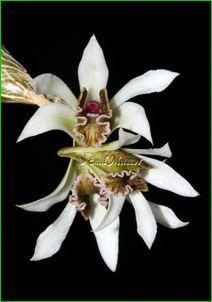 Dendrobium Peguanum | Dendrobium peguanum, супер макросъёмка ...