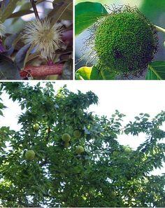 Hedgeapple, Horse Apple, Osage Orange