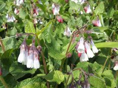 Dwarf comfrey on the Sharpham Estate, Spring 2015.  Pin us at www.pinterest.com/sharphamtrust Like Sharpham Trust at www.facebook.com/SharphamTrust Follow us @SharphamTrust Visit us at www.sharphamtrust.org