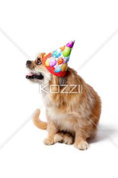 birthday doggie - Pekenese Terrier celebrating birthday.
