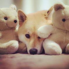Shiba and friends